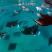 Manta soup in Hanifaru Bay, Maldives