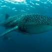 Scuba diving with whale sharks and in the Maldives
