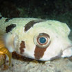 Meet this cute masked porcupinefish in Khaolak