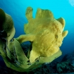 Giant frogfish can be seen Bohol