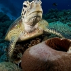 Turtles love the Philippine Sea