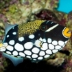 A clown triggerfish in the Maldives Southern Atolls
