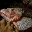A scorpionfish at Elphinstone in the southern Red Sea