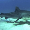 A small tiger shark glides over a sandy bottom