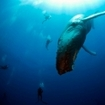 Divers can see humpback whales in Mexico's Pacific Ocean