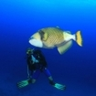 Scuba diver with a titan triggerfish