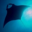 Manta rays frequent this part of Thailand's Andaman Sea