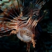 Red Sea lionfish, Pterois cincta