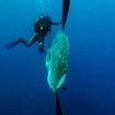 Sunfish with diver next to it