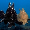 Giant frogfish swim across the sea floor in West Papua