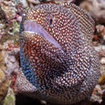 A spotted moray eel in the Coral Sea