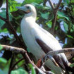 Red footed Booby, Turneffe Atoll, Belize