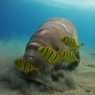 Dive with dugongs in Busuanga