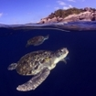 Turtles in the Similan Islands, Thailand