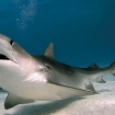 The tiger shark's mouth allows for the consumption of large prey