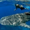 A whale shark passes by a snorkeller at the Burma Banks