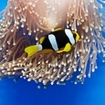An anemonefish in a blue magnificent anemone, Koh Rok