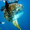 The excitement of seeing sunfish at Lembongan, Bali, Indonesia
