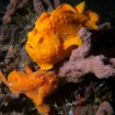 Frogfish can be spotted on the shipwrecks