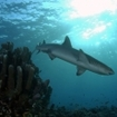 A whitetip reef sharks at Taveuni Island