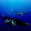 Manta rays passing a diver in Mexico
