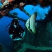 A scuba diver with a batfish at Peleliu