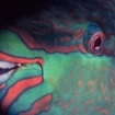 A parrotfish in Beqa Lagoon