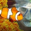 Amphiprion percula, now commonly known as nemo