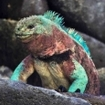 Galapagos marine iguana's are the world's only marine lizards
