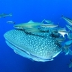 Whale sharks are one of the main attractions at Hin Muang, Thailand