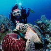 A scuba diver and green turtle at Sipadan Island in Sabah