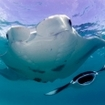 Manta rays frequent the Andaman Sea