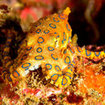 A blue-ringed octopus in Sel Pele Bay