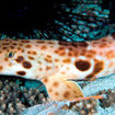 An epaulette shark in West Papua, Indonesia