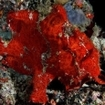 A giant red frogfish at Meemu Atoll, Maldives