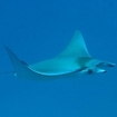 A mobula ray in the Southern Atolls