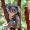 A koala bear in Queensland