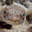 A porcupinefish inspects the camera