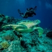 A scuba diver with turtle, Derawan Island