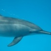 Dolphins are regularly encountered underwater near Marsa Alam