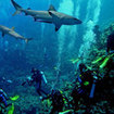 Diving with grey reef sharks at the Great Barrier Reef, Australia