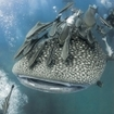 A whale shark by Richelieu Rock