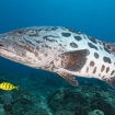 Look out for goliath groupers at Blue Corner