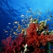 Red soft corals and fairy basslets, Thailand