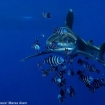 Dive in the Red Sea to see oceanic whitetip sharks
