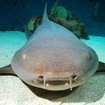Close up of a tawny nurse shark
