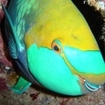 A greenthroat parrotfish, White Rock
