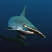Hammerhead shark in the Southern Red Sea