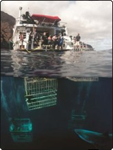 Liveaboard cage diving with great white sharks at Guadalupe Island, Mexico