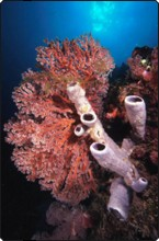 Scuba diving in Bali, Indonesia - tube sponges and sea fans
